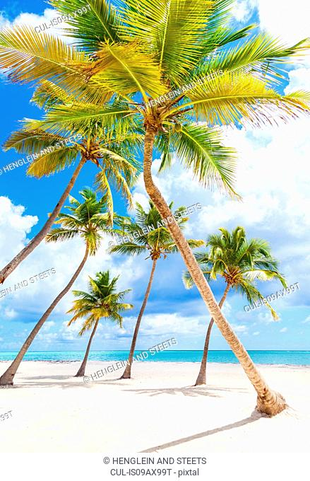 Palm trees leaning toward each other on beach, Dominican Republic, The Caribbean