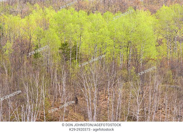 Emerging foliage in early spring aspens in a mixed forest overlooking a leatherleaf bog, Greater Sudbury, Ontario, Canada