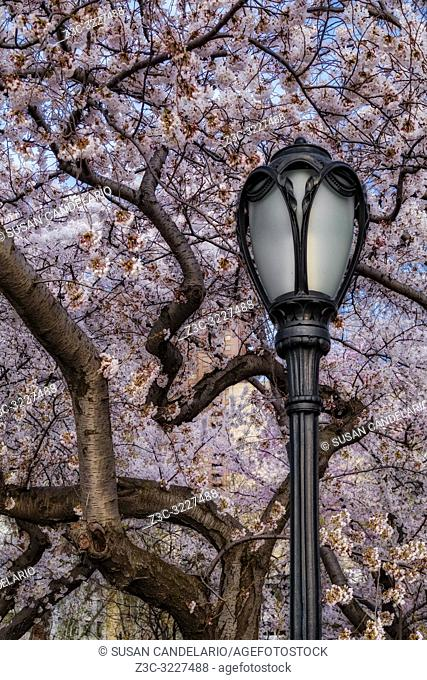 Cherry Blossoms At Central Park NYC - Cherry Blossom Trees in full bloom with an antique street lamp post at the iconic landmark of Central Park in upper...