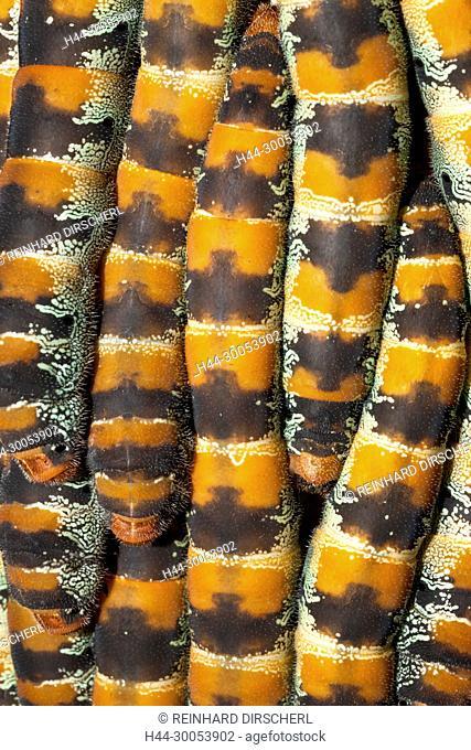 Caterpillars of Giant Silk Moth, Arsenura armida, Cancun, Yucatan, Mexico