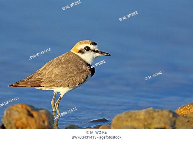 kentish plover (Charadrius alexandrinus), male in breeding plumage, stands at the shore, France, Camargue