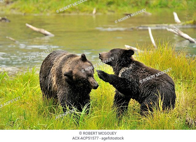 A wild adult mother grizzly bear Ursus arctos being playfully aggressive with her juvenile cub in the wilderness of the Tongass National Forest of south west...
