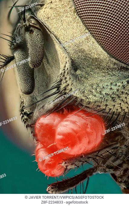 a close up of a Musca domestica or house fly showing a severe mite infestion; three mites under the subgenal area . Those mites show a bright red colour and...