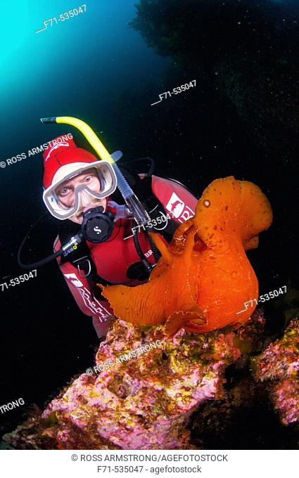 Diver with Giant seahare (Aplysia sagamiana). Red Baron caves. Poor Knights Islands, New Zealand. South Pacific Ocean