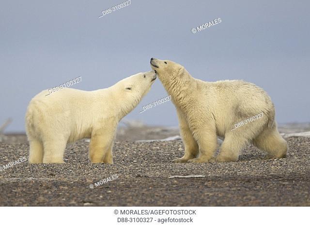 United States, Alaska, Arctic National Wildlife Refuge Kaktovik, Polar Bear( Ursus maritimus ), two youngs meeting along a barrier island outside Kaktovik