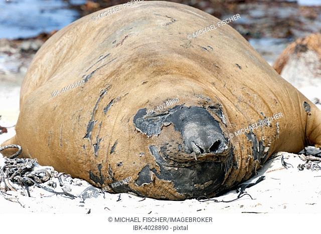 Southern elephant seal (Mirounga leonina), molting, Carcass Island, Falkland Islands