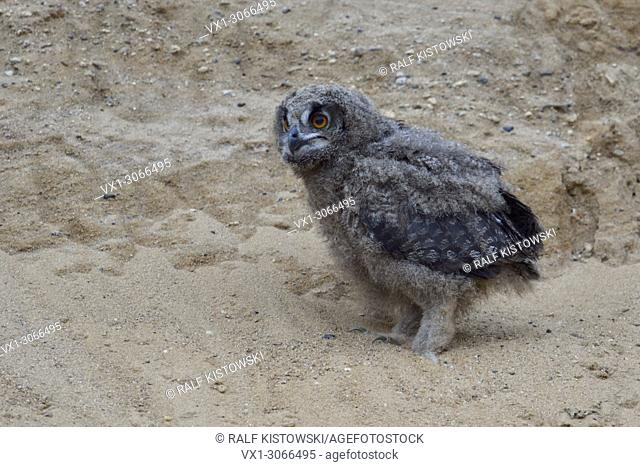 Eurasian Eagle Owl ( Bubo bubo ), small chick, owlet in sand pit, alone, lomesome, looks funny, wildlife, Europe