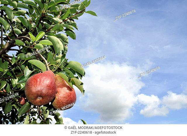Red pears in the Rhône valley, France