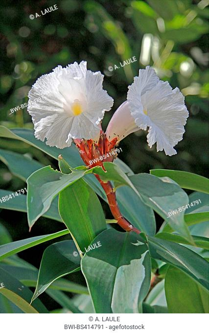 Crepe ginger, Malay ginger, Spiral ginger (Costus speciosus, Hellenia speciosa), branch with blossoms, Seychelles, Praslin