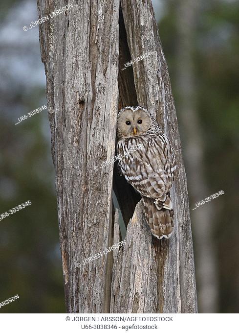 Ural Owl (Strix uralensis). Boden, Vasterbotten, Sweden