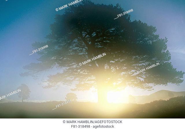 Scots Pine (Pinus sylvestris) single tree at sunrise. Rothiemurchus. Strathspey. Scotland. UK