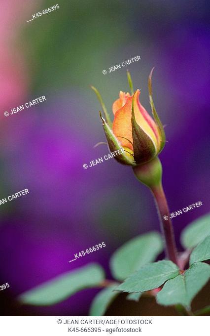 Miniature Rose in private garden. Southern Oregon coast, USA