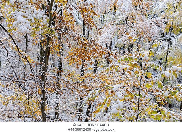 Verschneiter Herbstwald an der Schauinslandstrasse, Schwarzwald, Baden-Württemberg, Deutschland