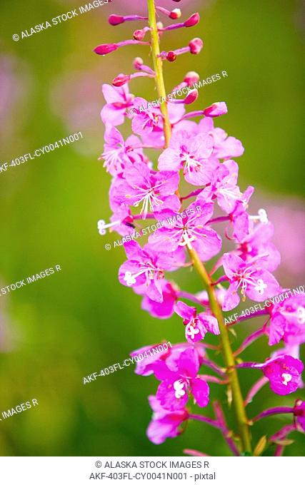 close up of Fireweed blooming near Anchor Point in Southcentral Alaska