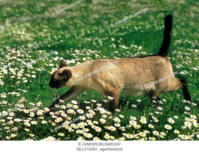 Old-style Siamese, Thai cat. Adult walking on ameadow with flowering Daisies. Germany
