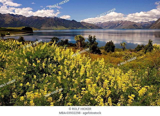 New Zealand, South-island, Central Otago, lake Hawea, yellow lupines, Lupinus luteus, bloom, landscape, nature, vegetation, botany, plants, flowers, bloom