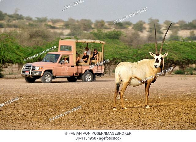 Arabian Oryx (Arabian Oryx), in front of a Safari-vehicle, Sir Bani Yas Island, Abu Dhabi, United Arab Emirates, Arabia, Near East, Orient