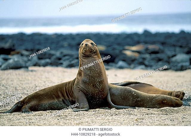 Ecuador, South America, Galapagos islands, isles, lake lion, lake lion, Zalophus californianus wollebakei, beach, seas