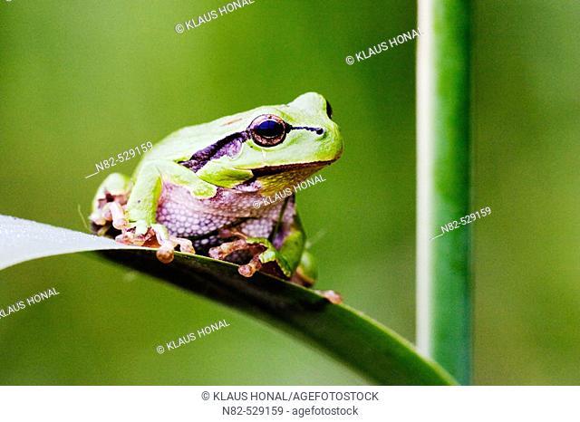 Common Tree Frog (Hyla arborea) on reed leaf in profuse vegetation