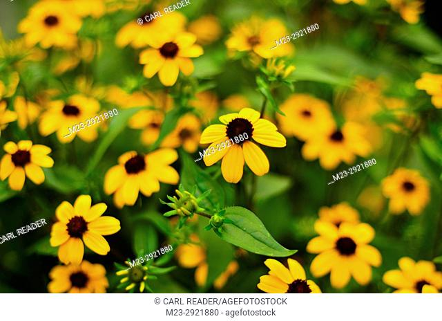 A cluster of small black-eyed susans, Pennsylvania, USA
