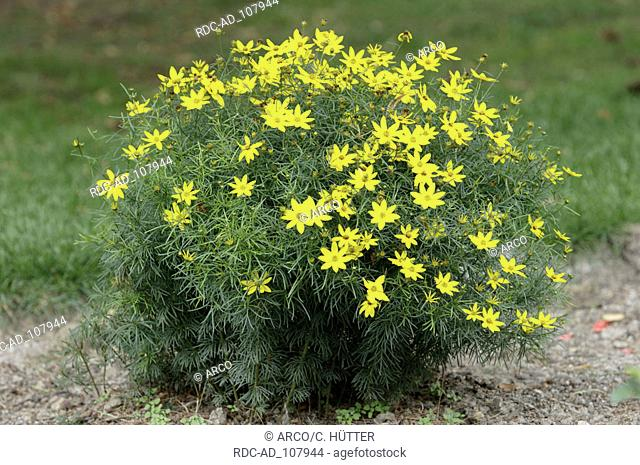 Lanceleaf Coreopsis Coreopsis verticillata