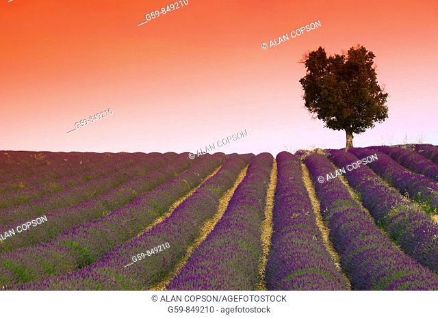 France, Provence-Alpes-Côte d'Azur, Alpes-de-Haute-Provence, Valensole, Lavender Fields