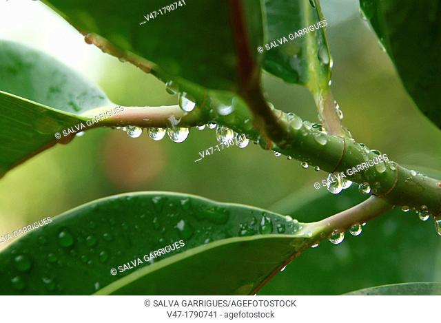 Ficus leaves with dew drops, Valencia, Spain