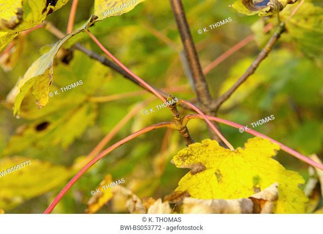 acer tree in autumn