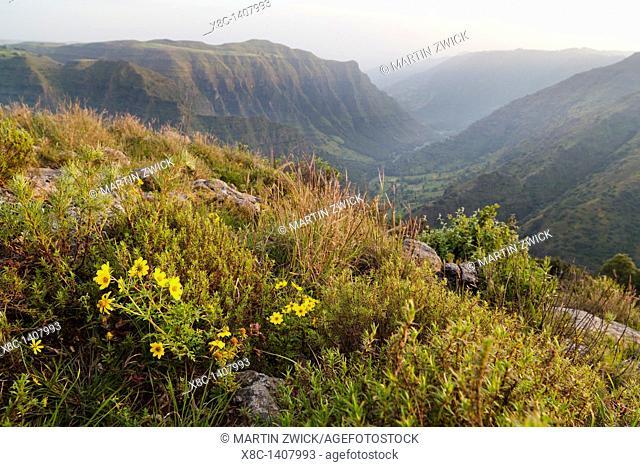 Landscape in the Simien Mountains National Park  Cushions of the yellow Meskal Meskel, mescel flower near the escarpment at Sankaber  The Simien Semien, Saemen