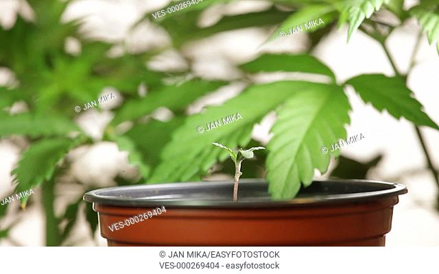 Cannabis plant seedling in flowerpot, Indica dominant hybrid, with detail of mature female plants moving in wind on the background