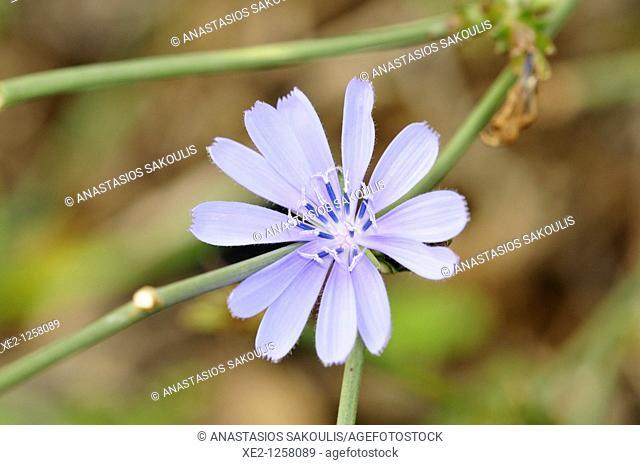 Common chicory Cichorium intybus, Crete