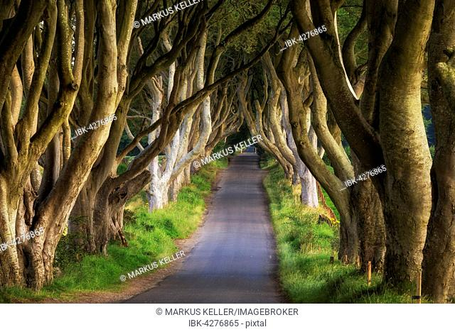 Beech tree avenue, The Dark Hedges, Ballymoney, County Antrim, Northern Ireland, United Kingdom