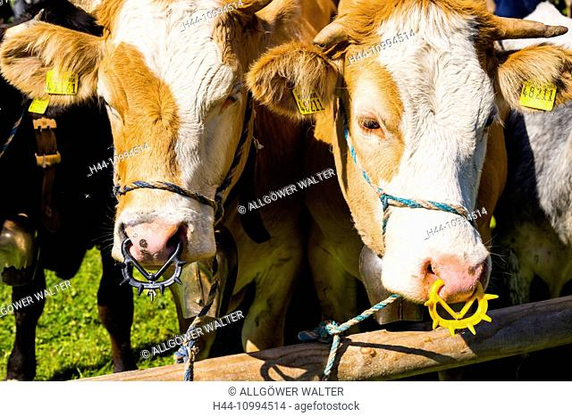Cows, Bos primigenius taurus, ring, Saugentwöhner, Allgäu, Bavaria, Germany, Europe