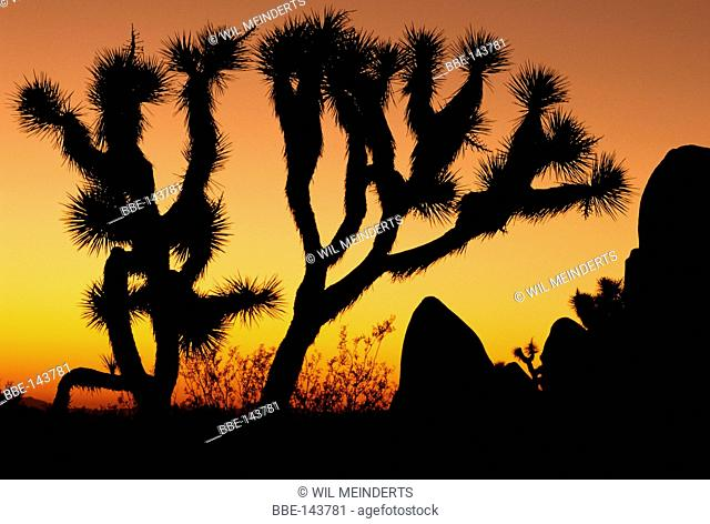Impression of the Yucca trees in Joshua Tree NP