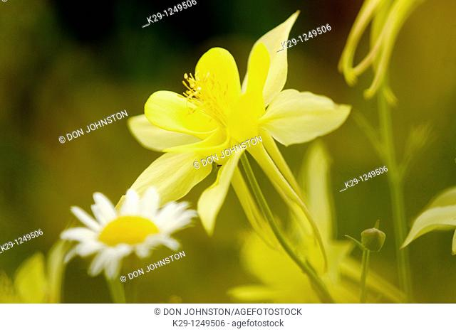 Yellow columbine Flower and daisy