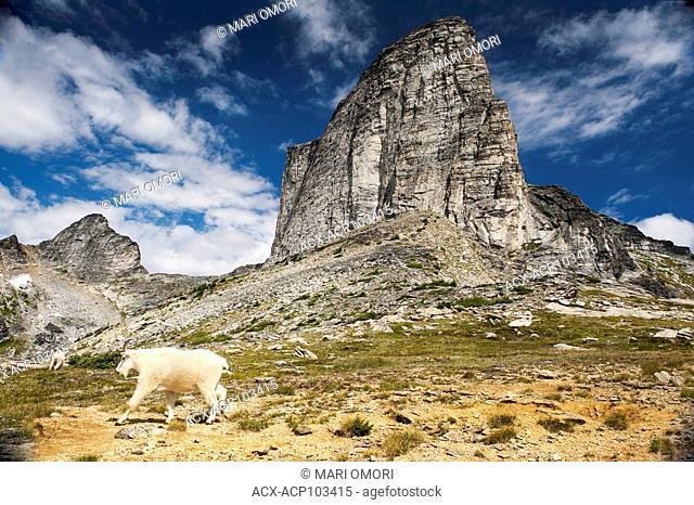 A Mountain Goat walks past Gimli Peak