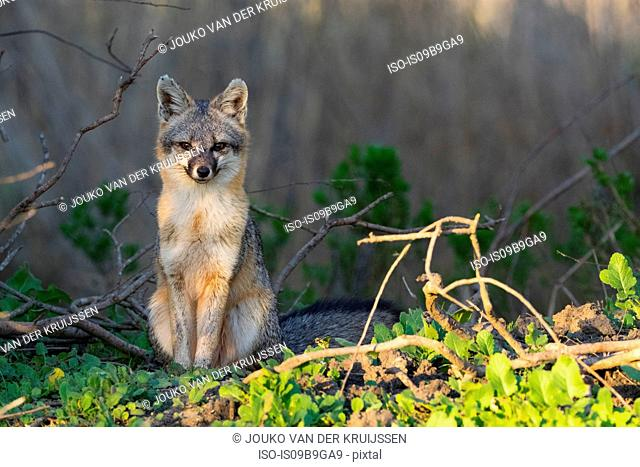 Fox (urocyon cinereoargenteus) looking at camera, Coyote Hills Regional Park, California, United States, North America