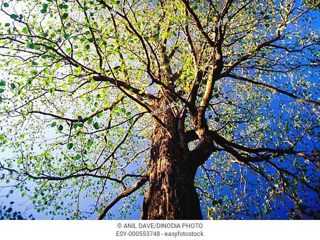 Peepal tree pipal ficus religiosa in forest , Bandhavgarh , Madhya Pradesh , India
