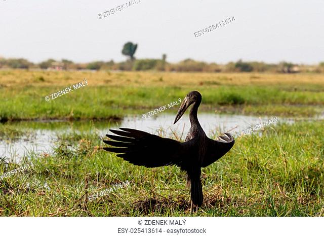African Openbill with wings spread to the evening sun, Chobe river, Botswana