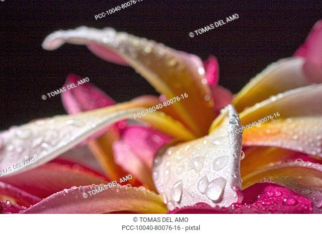 Closeup abstract view of pink and yellow plumeria petals, wet with dew