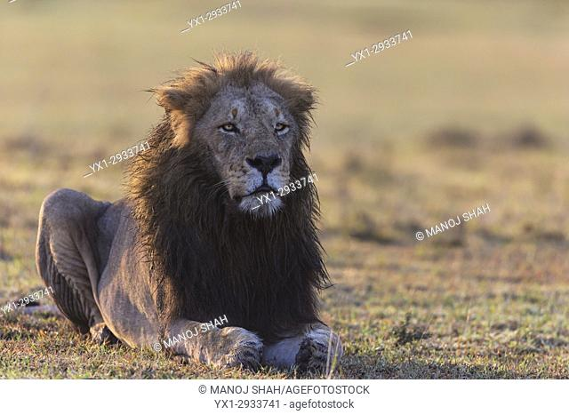 Male lion at sunrise in Mara. Masai Mara National Reserve, Kenya
