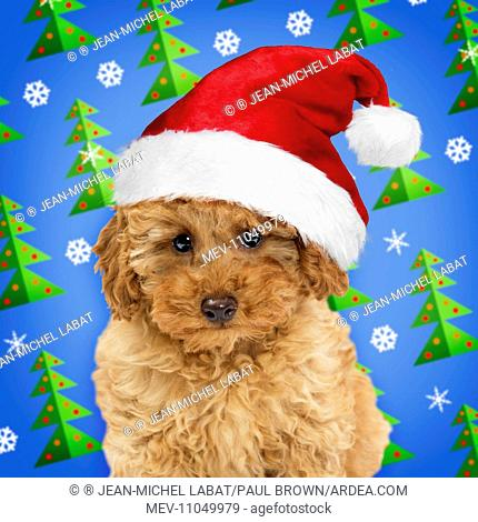 078ded1fb9347 Dog Apricot Miniature Poodle puppy wearing Christmas hat Digital  Manipulation