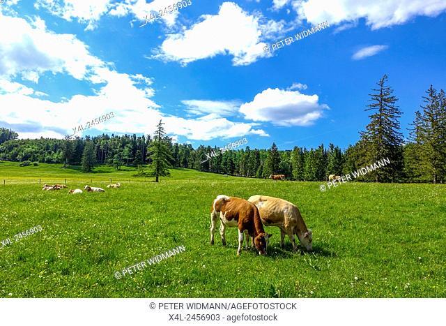 Cows on the pasture, Maumau Meadow, Losenheim, Schneeberg region, Lower Austria, Austria
