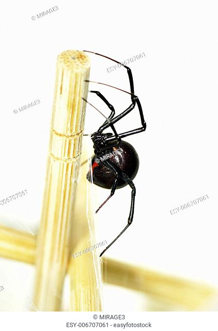 Side view of a beautiful and deadly female black widow spider, Latrodectus hesperus, with visible bright red hourglass shape underneath her abdomen