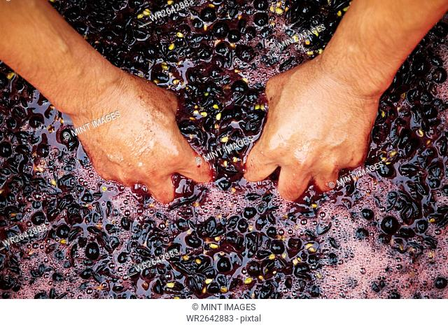 A man with his hands in fresh crushed red grapes and juice