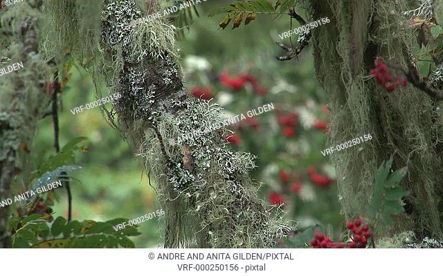 Rowan berries (Sorbus aucuparia) in changing focus