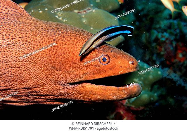 Cleaner wrasse cleaning Yellow-margined moray, Labroides dimidiatus Gymnothorax flavimarginatus, Indian Ocean Ari Atol, Maldives Island