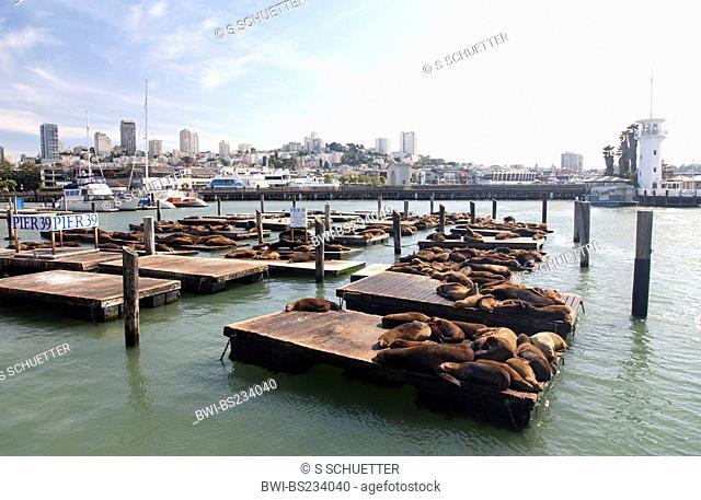 Californian sea lion Zalophus californianus, sunbathing on Pier 29 in san Francisco, USA, California, Fisherman's Wharf, San Francisco