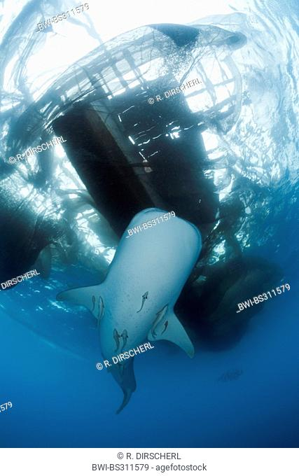 whale shark (Rhincodon typus), swimming under the fishing platform called 'bagan', Indonesia, Western New Guinea