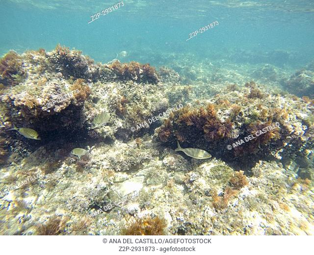 Underwater image Las Rotas nature reserve Denia Alicante Spain. Salpa fishes
